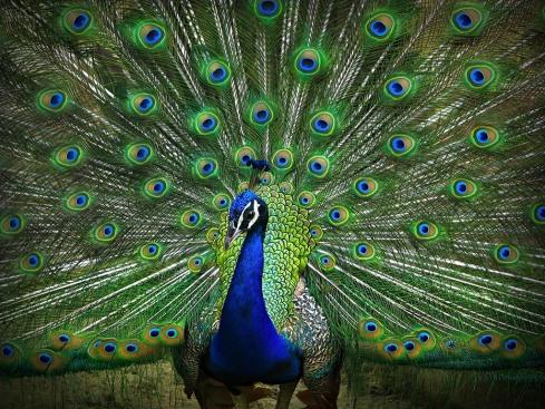 peacock-01.may2016