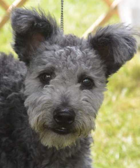 DogNews.Pumi.june2016
