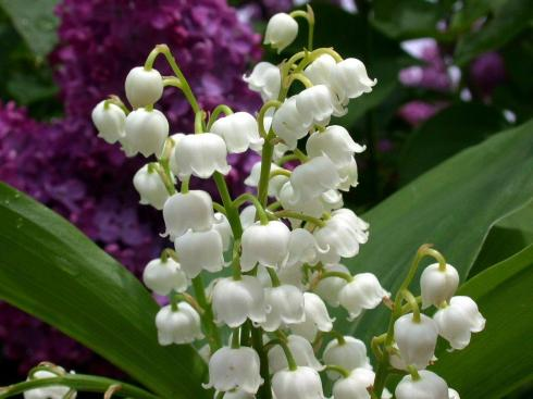 Lily-of-the-valley.LeMuguet.may2017