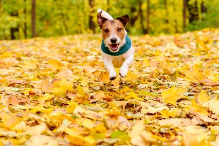 1.FallLeaves.JackRussell.oct2018